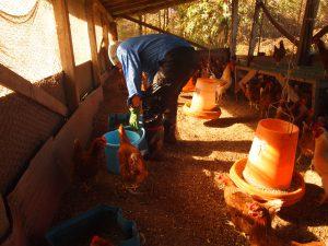 ニワトリたちにエサをやります(一日1回)。成長段階に合わせて、飼育スペースが分けられています。一つ一つのスペースに入って、専用のエサ箱にエサを入 れていきます。