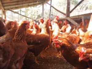 4面開放鶏舎でのびのびと過ごす鶏たち
